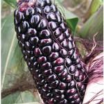 Suntava Full Season Purple Hybrid Corn Seed