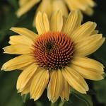 Sandy Yellow Echinacea