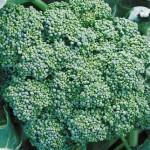 Broccoli, Calabrese Organic