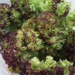 Broccoli, Purple Sprouting
