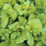 Cabbage Chinese Autumn Torch Hybrid