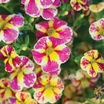 Calibrachoa Candy Bouquet