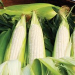 Corn Amaize Hybrid