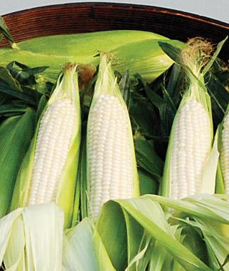 how to make hybrid corn seed
