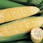 Corn Chubby Checkers Hybrid