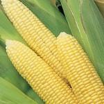 Corn Early Sunglow Hybrid
