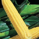 Corn Early Xtra-Sweet Hybrid