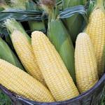 Corn Maple Sugar Hybrid