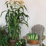 Corn On Deck Hybrid