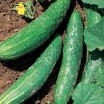 Cucumber Orient Express Hybrid