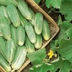 Cucumber Picklebush