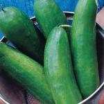 Cucumber Sugar Crunch Hybrid