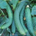 Cucumber Suyo Long