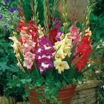 Glamini Gladiolus Bulbs