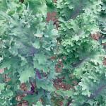 Kale Red Winter Organic