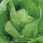 Lettuce Braveheart