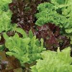 Lettuce Looseleaf Blend