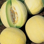 Melon Venus Hybrid (Honey Dew)