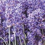 Super Blue Lavender
