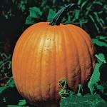 Pumpkin Connecticut Field