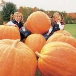 Pumpkin Prizewinner Hybrid