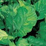 Mustard Florida Broad Leaf