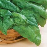 Spinach Bloomsdale Long Standing