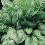 Spinach Giant 157 Hybrid