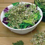 Sprout Seed Mung Bean