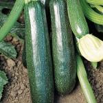 Squash Summer Sure Thing Zucchini Hybrid