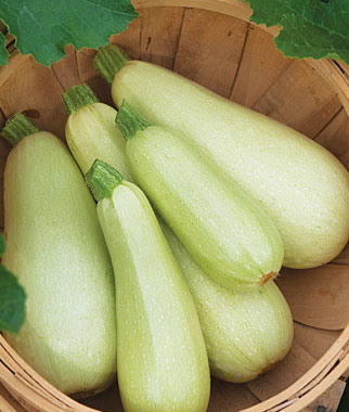 Squash Summer Zucchini Limelight Hybrid | Garden Seeds and ...