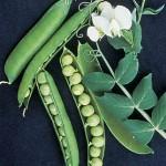 Pea Garden Sweet