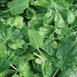 Spinach Double Choice Hybrid