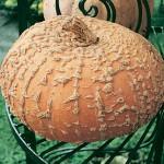 Pumpkin Galeux D'Eysines
