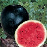 Watermelon Sugar Baby Organic