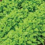 Spinach A La Carte Hybrid