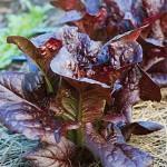 Lettuce King Crimson Hybrid